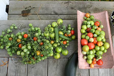 kert zöldségei